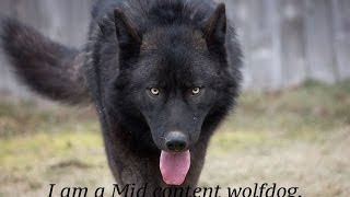 I am a Mid content Wolfdog.