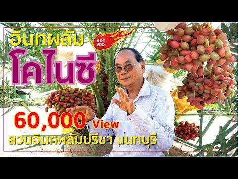 อินทผลัม โคไนซี่ สวนอินทผลัมปรีชา นนทบุรี