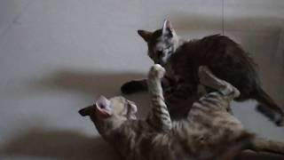 Funny Kittens Fighting Each Other By My Collection