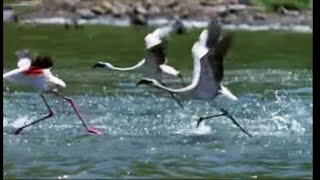 The Great Flamingo Escape - Massive Nature - BBC