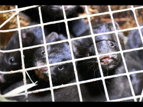 Puppy Mill Discovered at Stratford Area Mink Farm   Ontario, CANADA