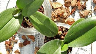 видео Как правильно пересаживать орхидеи?