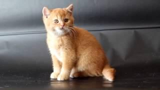Продажа британских котят.