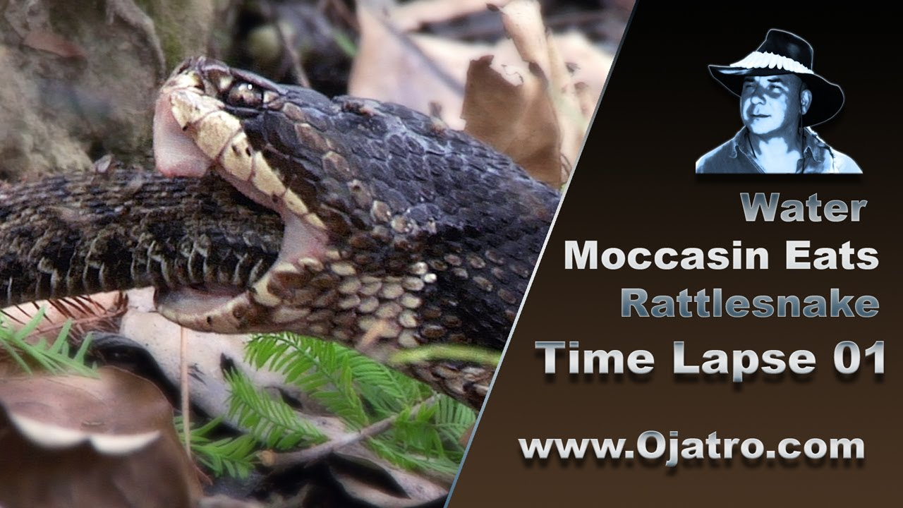 Water Moccasin Eats Rattlesnake 01 Time Lapse Youtube