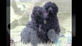 Португальская Водяная   Собака/Portuguese Water Dog (порода собак HD slide show)!