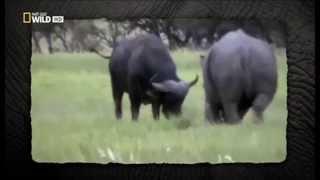 Rino Embestir Bufalo