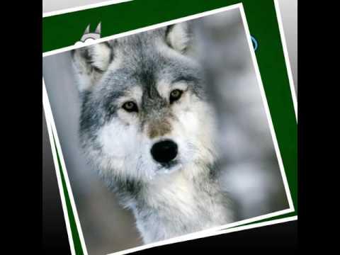 ☆ Волки   Фото ☆
