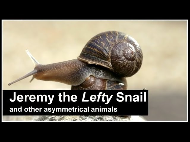 Jeremy the lefty snail and other asymmetrical animals