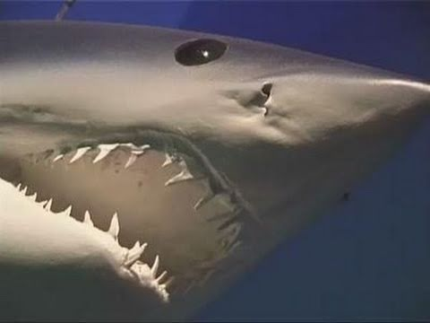 Le Requin,superstar du Seaquarium du Grau-du-Roi - YouTube