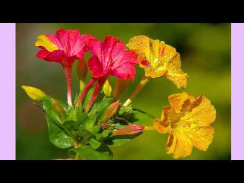 Мирабилис ночная красавица Уход, выращивание, посадка