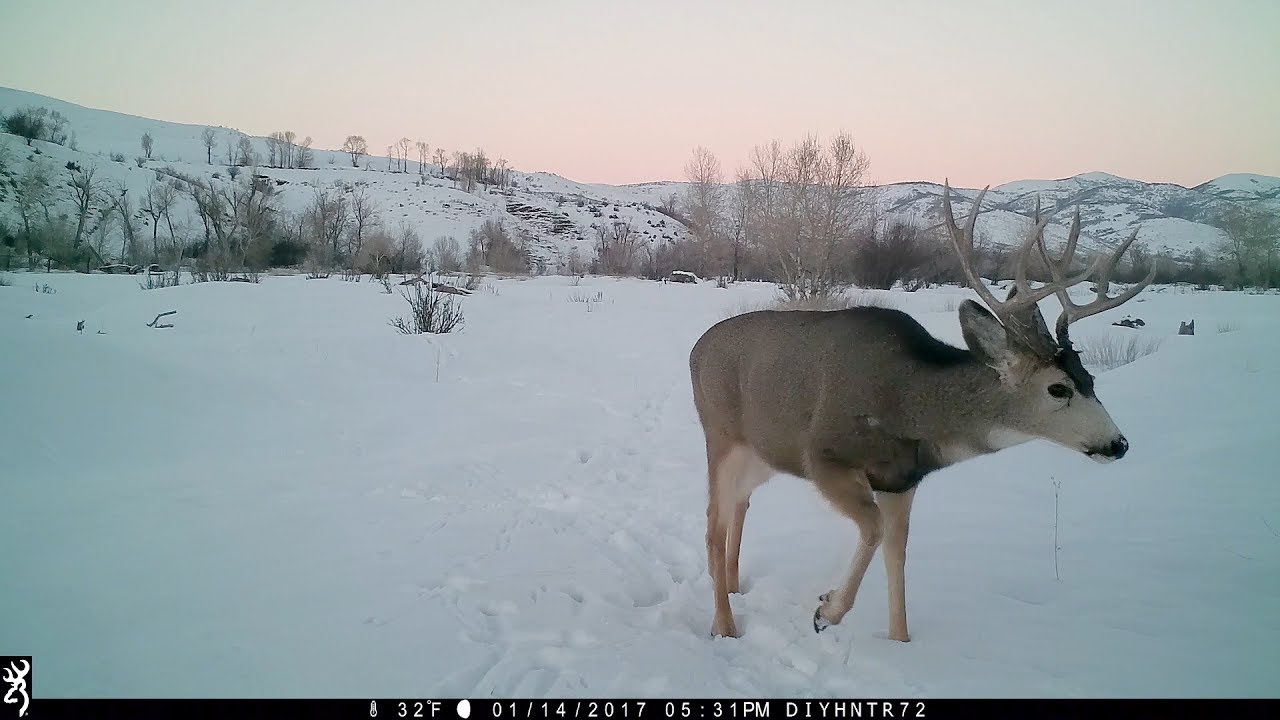 4x5 Mule Deer in the Snow