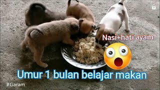 GARAM# 145. Anak Anjing umur 1 bulan belajar makan / 1 month old puppies learn  to eat