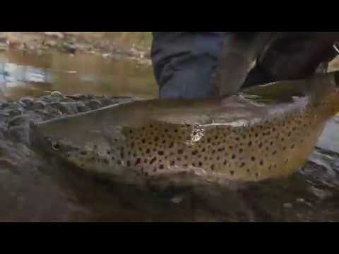 Fall Brown Trout And Egg Flies