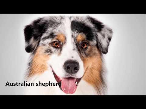 australian-shepherd-facts