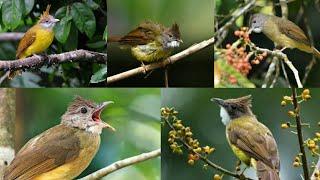 Masteran Suara Burung Kapas Tembak Cucak Jenggot Gacor #ciblekdeso #kicaumania
