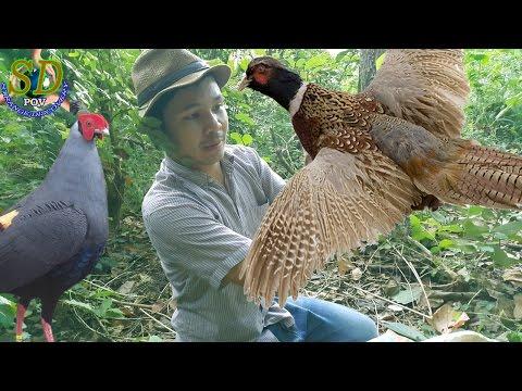 PHEASANT vs Cambodia Traditional Trap || Birds Trap || How to Hunting Birds In Cambodia