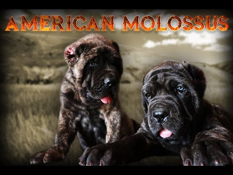 818 Concepts Presents : The American Molossus by Old World Mastinos