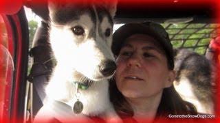 Siberian Husky Puppy Jeep Ride!
