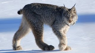 CANADIAN LYNX -  Amazing Animal Species