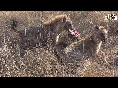 Very Vocal Hyenas Compete For Some Warthog
