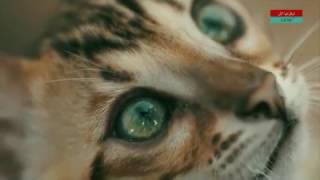 Передача о бенгальской кошке