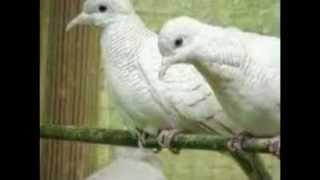 Cara Budidaya Burung Perkutut Putih