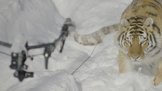 Tigers vs drone Siberian tigers chase drone in the snow : Funny video