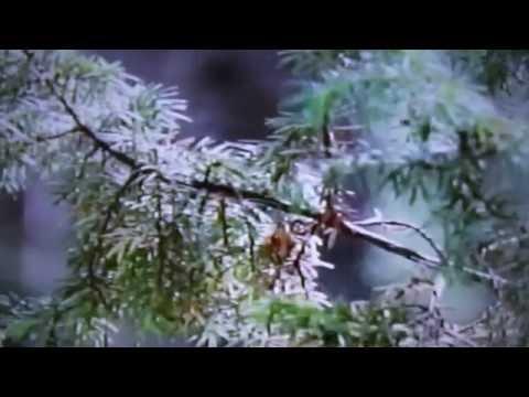 Можжевельник — Википедия