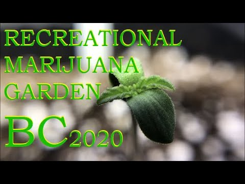 Download Germinating cannabis. How to care for seedlings. 2020 is underway!