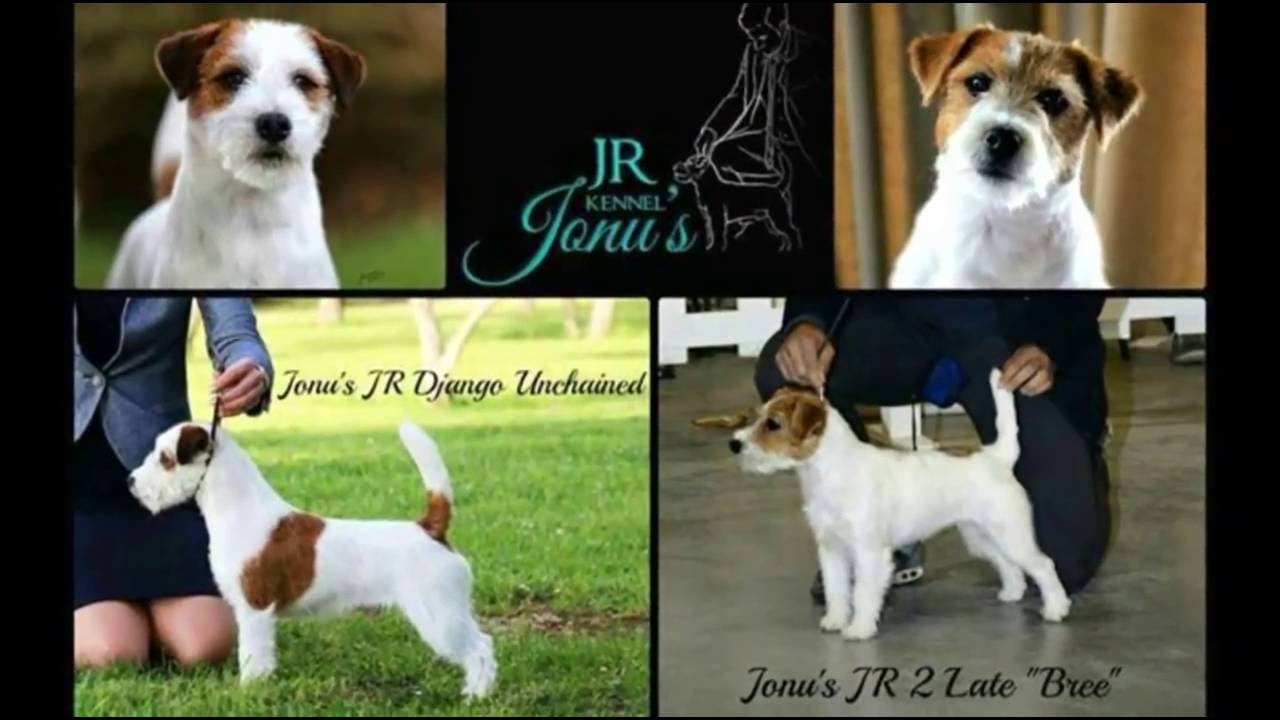 Jack russell terrier the champions standard jack russell terrier youtube - Jack russel queue coupee ...