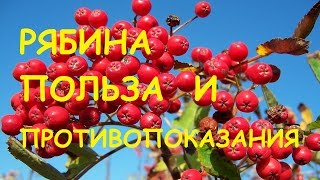 видео Черноплодная рябина: лечебные свойства и противопоказания