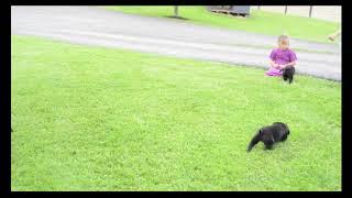 Black Labrador Retriever Puppies For Sale Steven Miller
