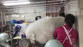 ボクはシャンプーデーが大嫌いなんでしゅ。 大型犬専用カートに乗せられて店内のペットショップまでヒィヒィ言ってましゅ。 トリマーのお姉さ...