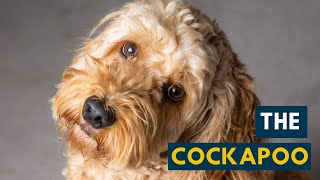 The Cockapoo: Everything About This Teddy Bear Dog!