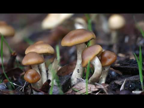 Psilocybe subaeruginosa, Australian Mushroom - 4k GH5 Mp3