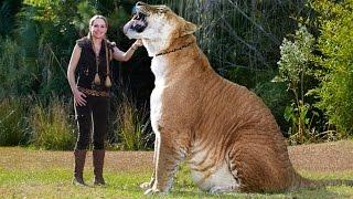 ЛИГР ГЕРКУЛЕС - САМАЯ БОЛЬШАЯ КОШКА В МИРЕ! ГИБРИД ЛЬВА И ТИГРИЦЫ. СЕРИАЛ-ЖИВОТНЫЕ ГИБРИДЫ.(Самая большая кошка на Земле Лигр. Лигр Геркулес — самая огромная кошка в мире! Лигр — это гибрид, потомок..., 2016-04-03T21:19:05.000Z)
