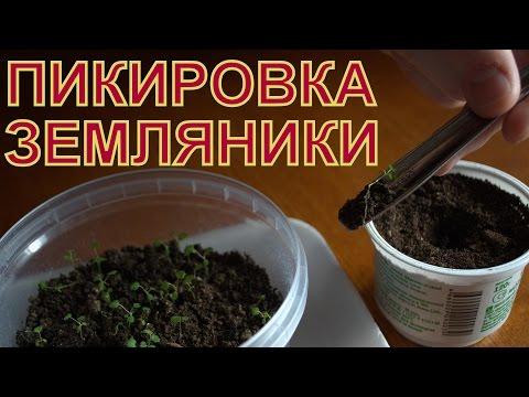 Выращивание ЗЕМЛЯНИКИ (КЛУБНИКИ) из семян. ПИКИРОВКА (ПЕРЕСАДКА) сеянцев в отдельные стаканчики