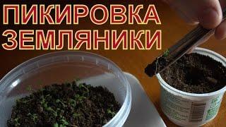 Выращивание ЗЕМЛЯНИКИ (КЛУБНИКИ) из семян. ПИКИРОВКА (ПЕРЕСАДКА) сеянцев в отдельные стаканчики(Здравствуйте! Сейчас конец февраля, у земляничных растений есть по 2 развитых настоящих листочка и уже начи..., 2015-02-23T05:19:49.000Z)