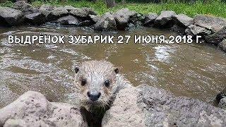 Выдрёнок Зубарик 27 июня 2018 г.