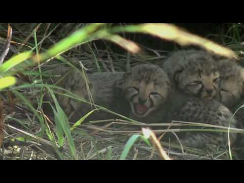 Baby cheetah sounds