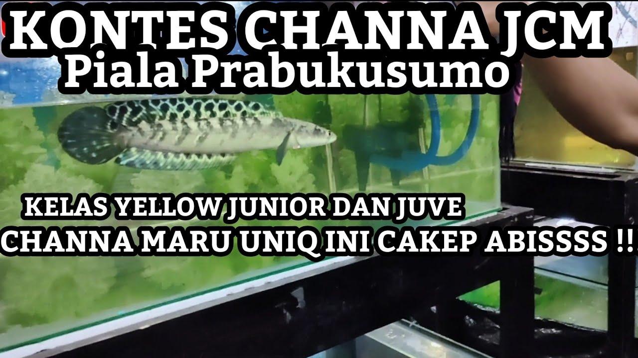 Download KONTES CHANNA MARU JCM PIALA PRABUKUSUMO JUVE DAN JUNIOR ADA YANG UNIQ GUYS COBA TENGOK DULU SOB!!!