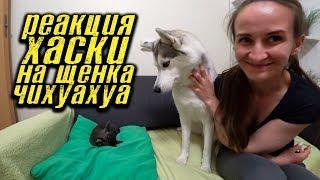 Знакомство хаски Капеллы с щенком Чихуахуа! Первые шаги щенка по новому дому