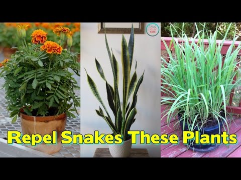 Worried Of snakesThese Plants Will Repel Snakes From Your Garden
