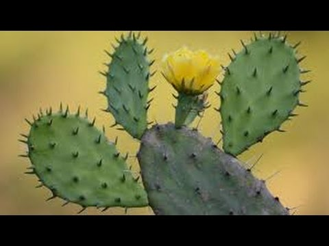 190 - Solution For Some Common Health Problems - Grow NAGFANI /PRICKLY PEAR (Hindi /Urdu) - 9/11/16