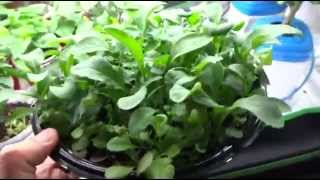 Growing a Salad Bowl - Cheap and Easy Method to Grow Lettuce Indoors