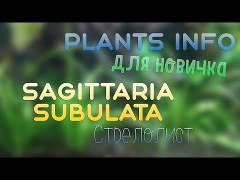Plants Info   ДЛЯ НОВИЧКА   Sagittaria subulata (Стрелолист)