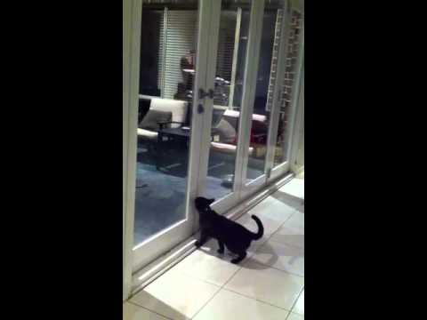 Smart cat opening door.
