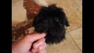 Black Imperial Shih Tzu @ Www.shihtzusforever.com Call 334-289-0682
