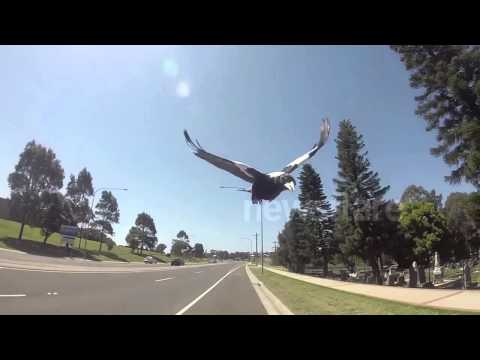 Cycling During Magpie Season Shellharbour  Australia