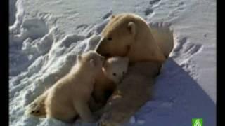 Documental. Osos polares Homenaje a las madres del mundo animal 2/17